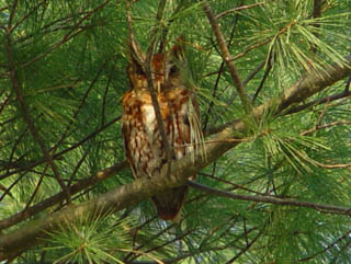 Eastern Screech Owls, adult male
